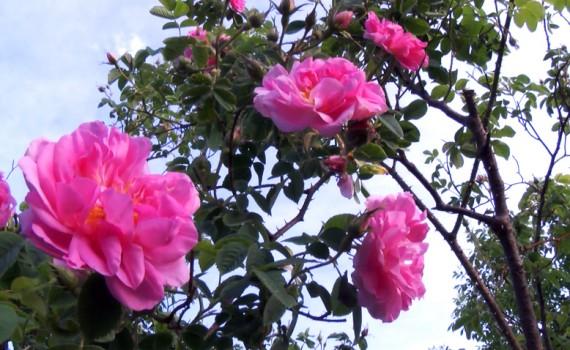м роза