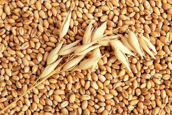 пшеница1