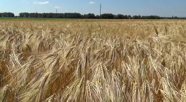 твърда пшеница