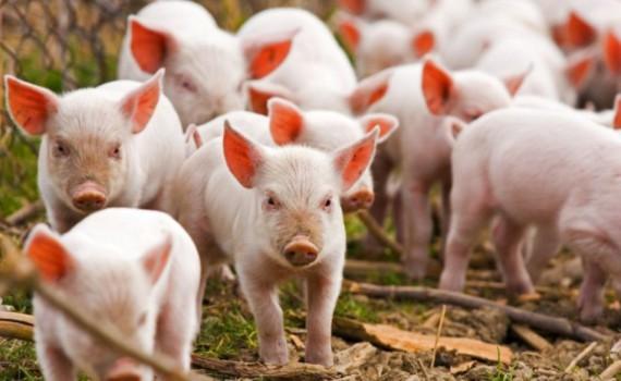 свине
