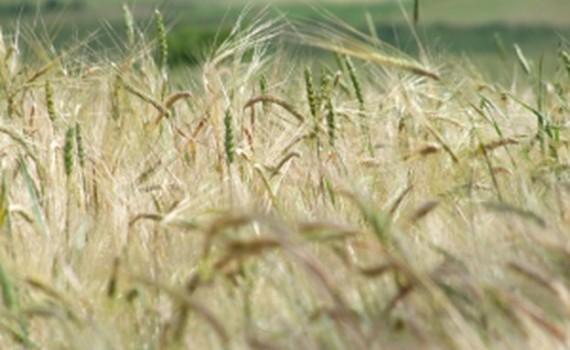 1292966_barley_4.jpg__623x416_q85_crop_subsampling-2_upscale