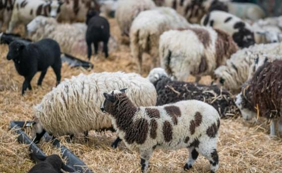 991-ratio-ovce