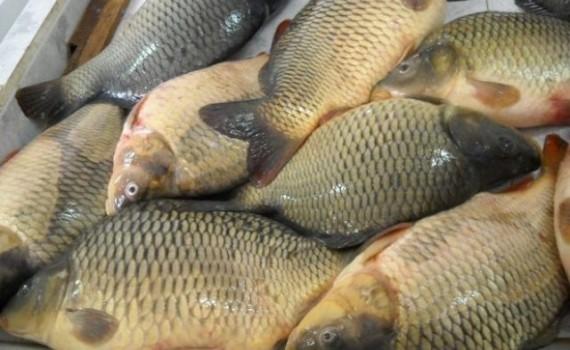 640-420-kak-se-izbira-riba-za-nikulden