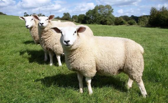 ovce.jpg__623x416_q85_crop_subsampling-2_upscale