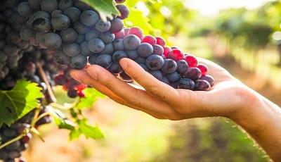 agro_grapes_400x230