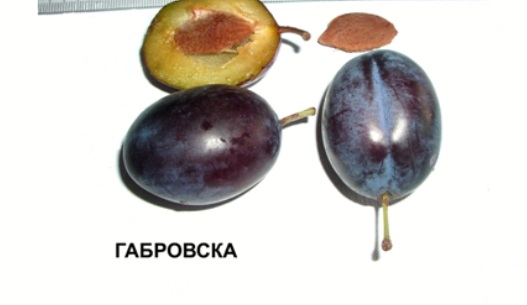 Габровска