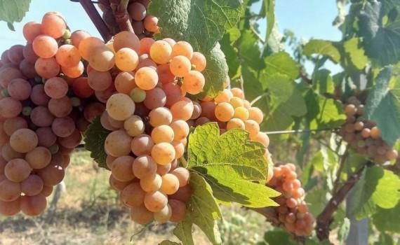 sortove-grozde